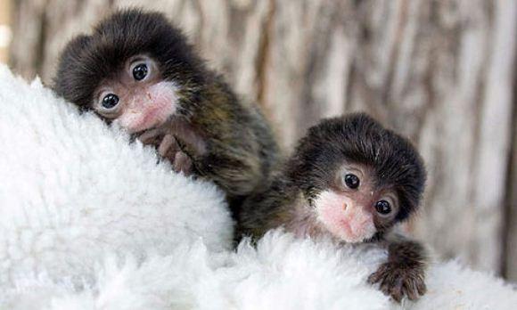 Little Monkeys - Barnorama