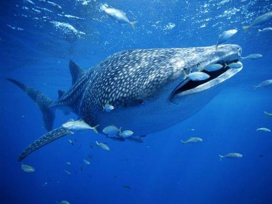 /shark/