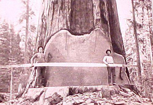 12 Foto menakjubkan Pohon Raksasa dari Masa Lalu