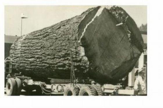 20 Foto menakjubkan Pohon Raksasa dari Masa Lalu