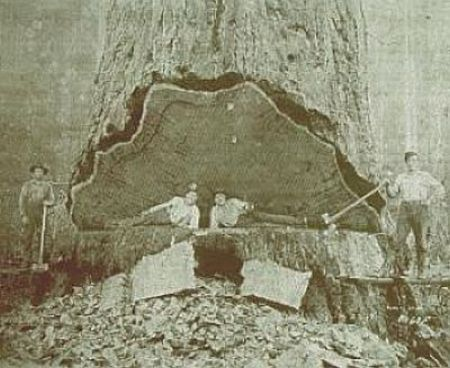 37 Foto menakjubkan Pohon Raksasa dari Masa Lalu