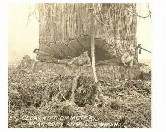41 Foto menakjubkan Pohon Raksasa dari Masa Lalu