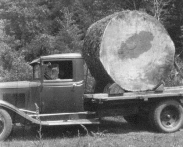 45 Foto menakjubkan Pohon Raksasa dari Masa Lalu