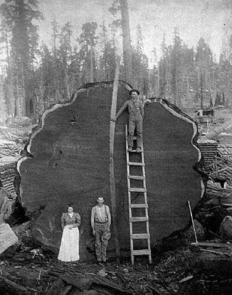47 Foto menakjubkan Pohon Raksasa dari Masa Lalu