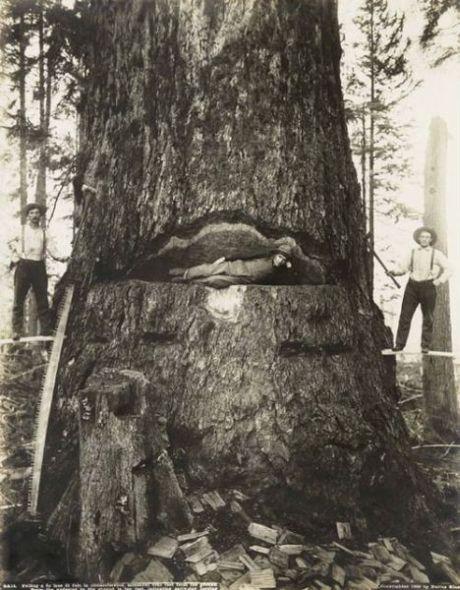 48 Foto menakjubkan Pohon Raksasa dari Masa Lalu