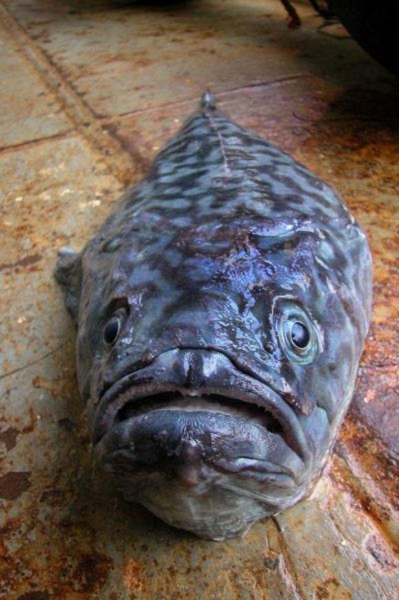 Koleksi Gambar Binatang Ganjil Laut Dalam (2)