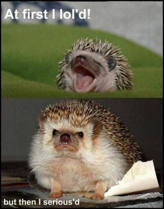 Hedgehogs with Captions