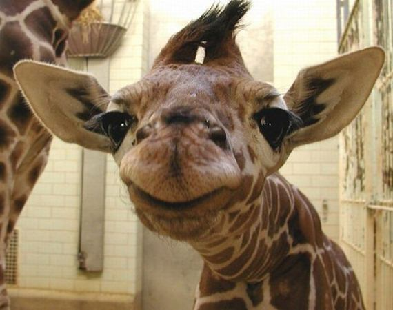 Bebé jirafas - Imagui