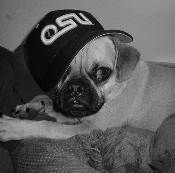 Cool Pug Thugs