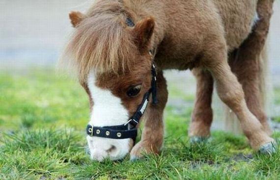 Cute miniature horses - photo#11