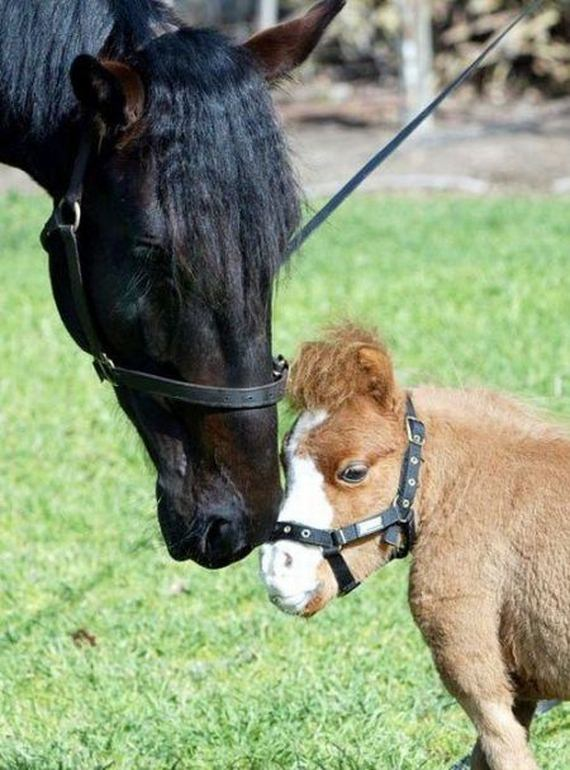 Cute miniature horses - photo#7