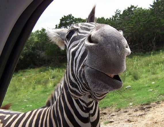 Funny Pictures Zebras Laughing