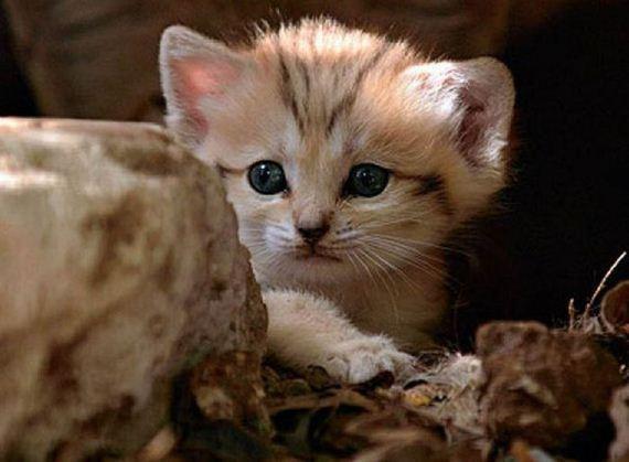 Sand Cat Kittens - Barnorama