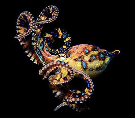 Freshwater octopus - photo#49