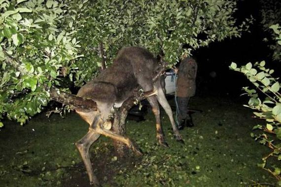 04 - Drunk Swedish Moose Found Stuck in Tree - Weird and Extreme