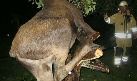 05 - Drunk Swedish Moose Found Stuck in Tree - Weird and Extreme