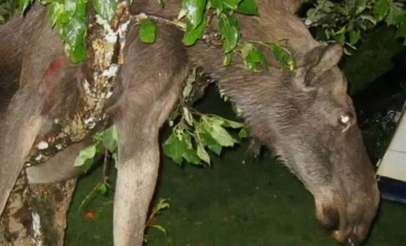 06 - Drunk Swedish Moose Found Stuck in Tree - Weird and Extreme