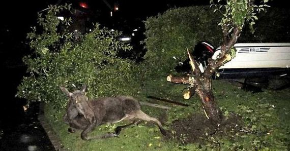 07 - Drunk Swedish Moose Found Stuck in Tree - Weird and Extreme
