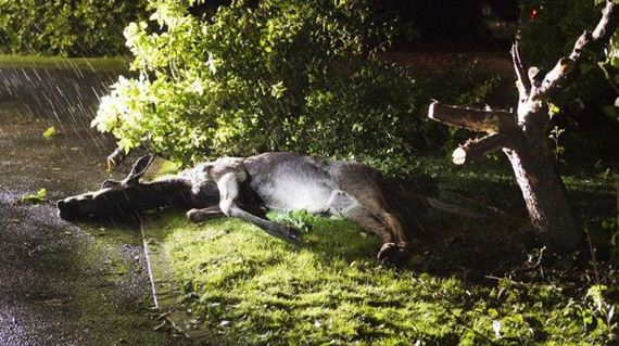 08 - Drunk Swedish Moose Found Stuck in Tree - Weird and Extreme