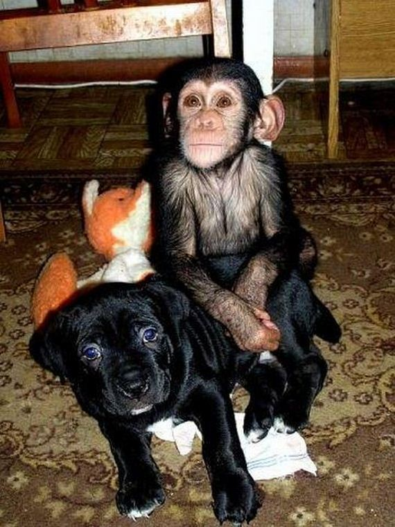 Baby Chimpanzee In Diapers And Black Dog Video