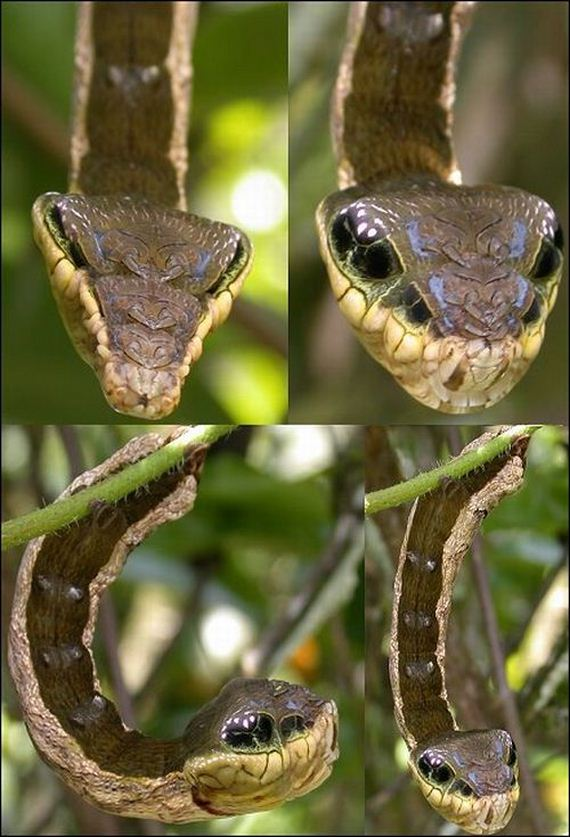 Caterpillar Looks Like Snake Head To Protect Itself From