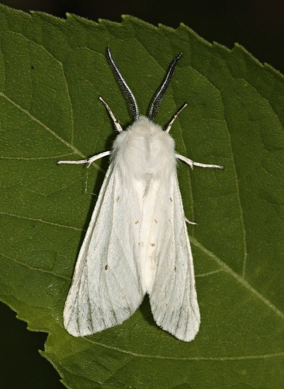 Poodle Moths Are The Cutest Freakiest Moths Barnorama