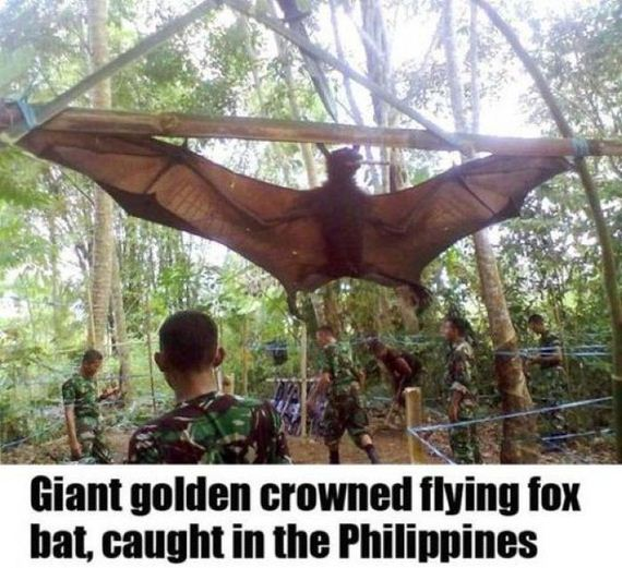 50 - Giant golden crowned flying fox bat - Philippine Photo Gallery