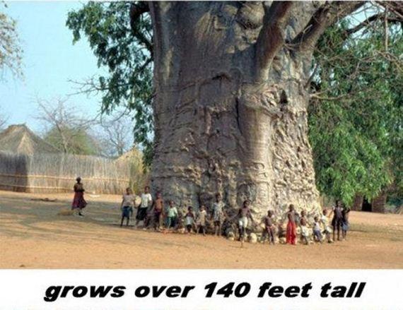 يبلغ إرتفاع شجرة باوباب اكثر من 140 قدم