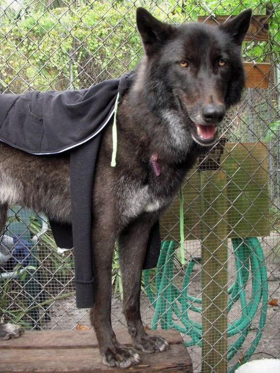 Pet Wolf Yuki Barnorama