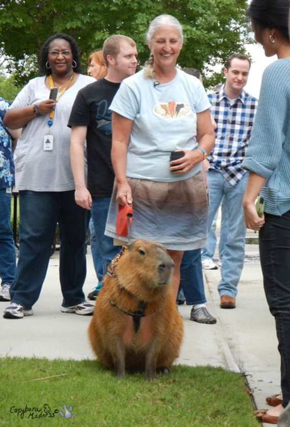 After-Looking-At-These-Photos-Capybara