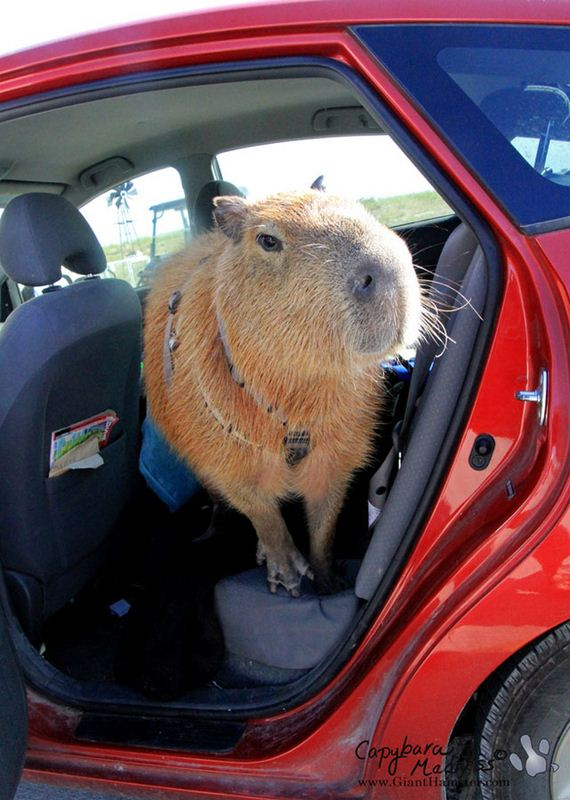 Μετά-looking-At-Αυτά-Φωτογραφίες-Capybara