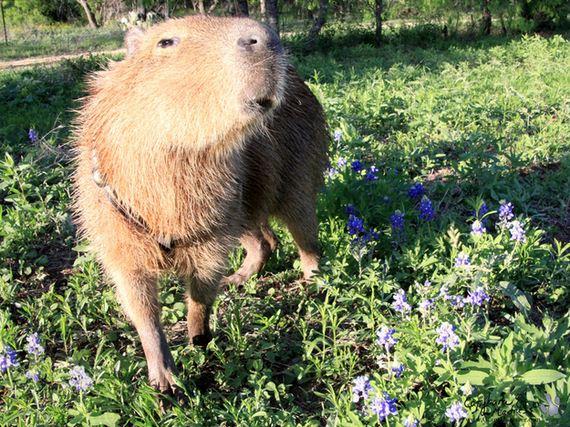 After-Looking-At-These-Photos-Capybara