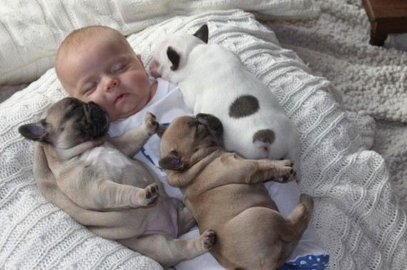 Baby-Covered-French-Bulldog