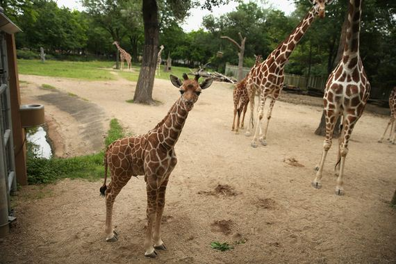Four-Day-Weekend-With-Baby-Giraffes