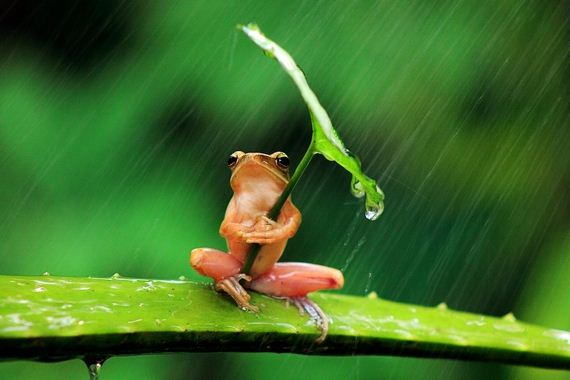 Frog-Using-Leaf-As-An-Umbrella