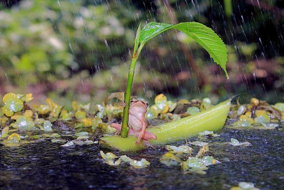 Frog-Using-Leaf-As-An-Umbrella