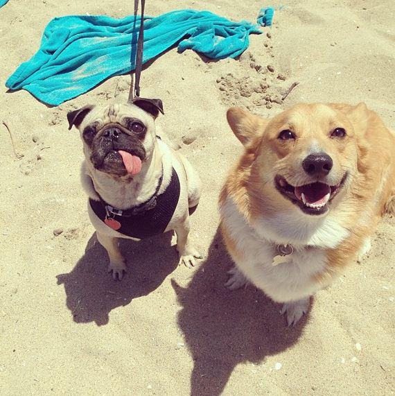 Happens-When-140-Corgis-Have-Beach-Party