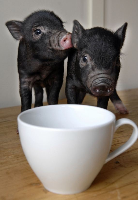 Pictures-eacup-Pigs