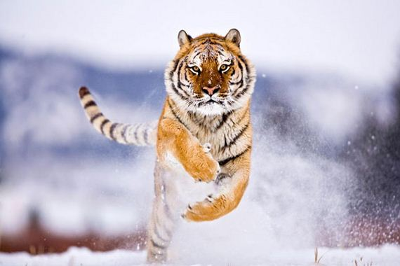 Tiger-First-image