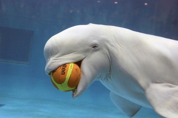 Why Beluga Whales Should Be Your New Favorite Mammal
