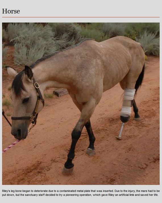 animal-prosthetics