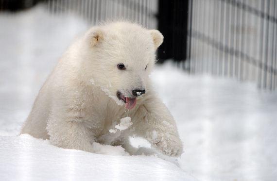 baby-polar-bear