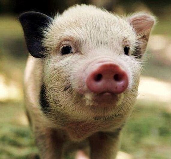 bacon-shortage