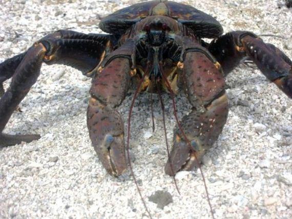 coconut_crab