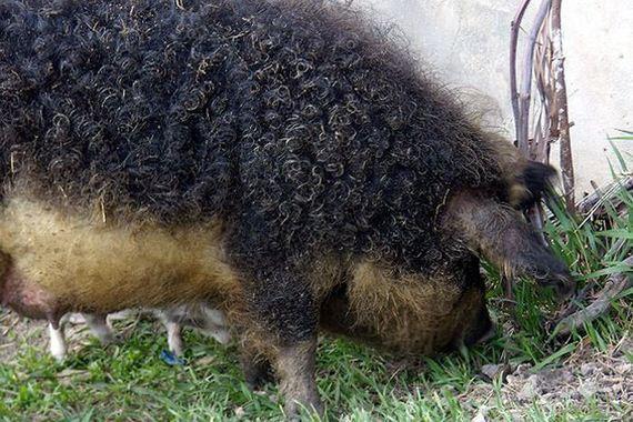 curly-hair-ship-mangalitsa