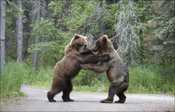 fighting-bears