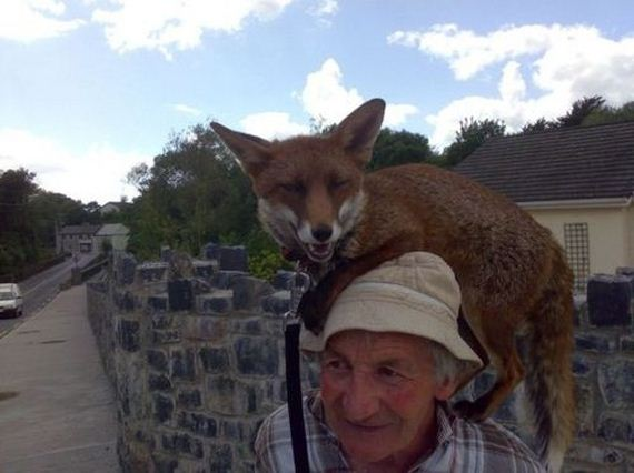 foxes-people-keep-pets