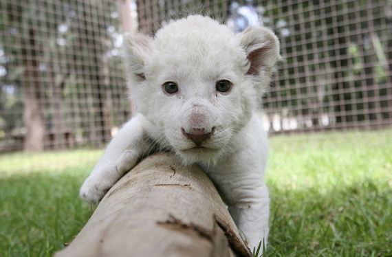 gaze-into-the-eyes-of-the-cutest-lion