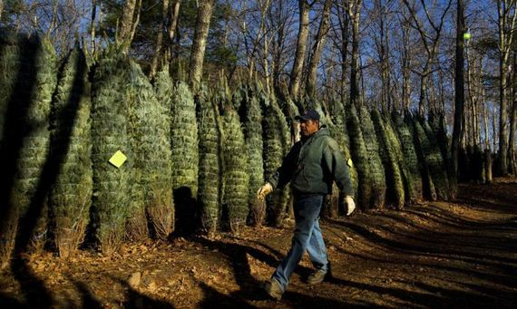 harvesting-of-the-christmas-trees