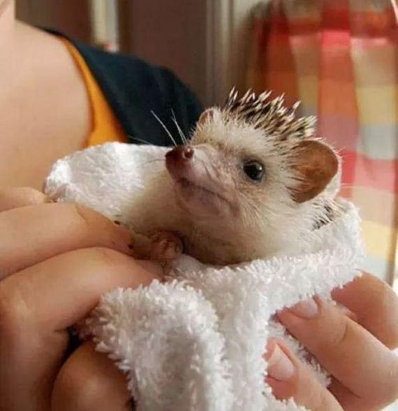 hedgehogs_01